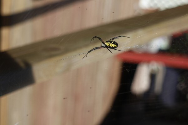 Nathan's place has a large yellow garden spider living in a corner of the deck. They're scary looking, but harmless. I've always thought this variety looked a lot like the spiders in Ocarina of Time.